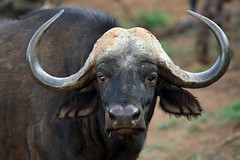 Buffalo, Madikwe Game Reserve, South Africa