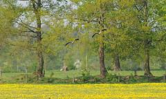 DSC_7785x_00001 (frans.oost) Tags: dawn sunrise field flower tree goose bird landscape