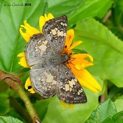 Glassy-winged skipper (LPJC) Tags: panama 2018 lpjc glassywinged skipper butterfly xenophanestryxus quebradagarza