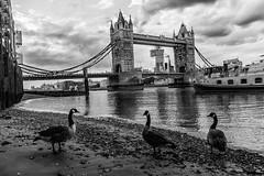 181005 9895 (steeljam) Tags: steeljam nikon d800 lightpainters london bridge canada geese