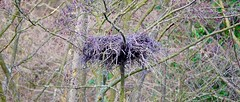 Grey Heron Site Of Nest (Leigha Louisee) Tags: nature nest bird birds grey heron tree nests wildlife