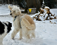 THE VISITOR (DOODLE) (LitterART) Tags: goldendoodle doodle dog hund playing running steiermark schnee snow nikond800
