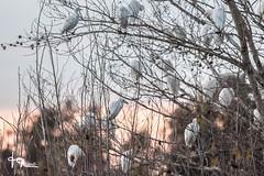 JMR-Ornitho4-409 (jmr_87) Tags: ariège bubulcusibis cattleegret domainedesoiseaux hérongardeboeufs mazère midipyrénées oiseaux ornithologie