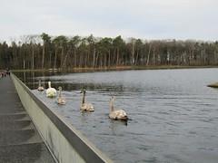 Cycling Through Water in Bokrijk (juka14) Tags: beautifulplaces belgium borijk swans lake cycling