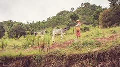 (Laszlo Horvath.) Tags: nikond7100 sigma1835mmf18art portrait cow colors nationalgeographic nature myanmar burma