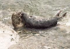 Sealfight (Gill Stafford) Tags: gillstafford gillys image photograph wales northwales conwy little orme penrhynbay rhosonsea seal greyatlantic wild colony angelbay mammal