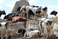 High  in the  wind  Last  summer (excellentzebu1050) Tags: livestock dairycows dairyfarm farm animals cow cattle outdoor coth coth5