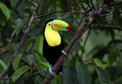 Keel-billed Toucan (ashockenberry) Tags: bird nature naturephotography natural native national wildlife wildlifephotography wild wilderness travel tourism tree forest feathers flight landscape park perch outdoor majestic costa rica keel billed toucan yellow ashleyhockenberryphotography