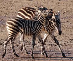 zebra Burgerszoo 094A1550 (j.a.kok) Tags: zoogdier zebra burgerszoo burgerzoo grantzebra mammal dier animal africa afrika