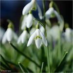 Snowdrops whithout Snow thumbnail