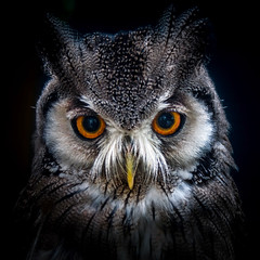 Laser vision (10000 wishes) Tags: owl raptor birdofprey bigeyes feathers animalphotography beauty portrait outdoors stare whitescopsowl nocturnal