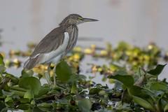 Héron ( strié?) (Patrick Doreau) Tags: héron oiseau bird heron lac eau végétation lake water inlé birmanie myanmar burma