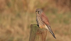Kestrel - Male      (Falco tinnunculus) (nick.linda) Tags: kestrel malekestrel birdsofprey falcotinnunculus wildandfree canon7dmkii canon100400mkll