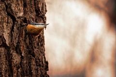 Look Up From Your Life (Goromo) Tags: redbreastednuthatch nuthatch bird tree foraging winterresident active tiny bark