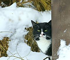 Feral Black and White Cat (Eat With Your Eyez) Tags: feral cat cats feline felines meow wisker winter snow outdoors cold animal fur furry panasonic fz1000