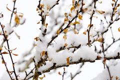 Winter Barberry (Modkuse) Tags: velvia fujivelvia fujifilmxt2velvia fujifilmxt2velviasimulation nature natural art artphotography fineartphotography fineart photoart snow thorns winter fujifilm fujifilmxt2 xt2 xf55200mmf3548rlmois fujinon fujinonxf55200mmf3548rlmois barberry