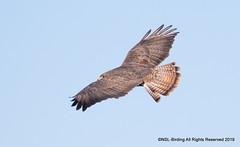 Buzzard- Buteo Buteo (snapp3r) Tags: buzzard newtonstloe patch