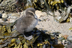 Eider Duckling (robin denton) Tags: eiderduck seahouses northumberland coast duck somateriamollissima seabird bird nature wildlife duckling