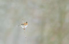 Visiteur d'hiver (Eric Penet) Tags: animal sauvage avesnois janvier hiver neige mormal nord nature france faune forêt wildlife wild pinson oiseau bird brambling passereau passerine