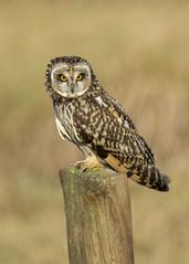 short eared owl (alderson.yvonne) Tags: seo short eared owl day shorty eyes nikon d7200 yvonne yvonnealderson wild