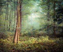 Let the light shine through (Ingeborg Ruyken) Tags: 2018 autumn october woods berlicum fall flickr herfst ochtend 500pxs wamberg forest oktober natuurfotografie instagram shertogenbosch morning bos