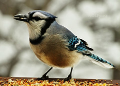 Bluejay Breakfast (karl.wolfgang (Appalachian Son)) Tags: bible christianity bird bluejay winter nature blessing