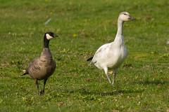 Cackling Goose (JohnReynolds2012) Tags: 2018 vancouver bc wildlife bird birds canada inaturalist animals westvancouver britishcolumbia ca