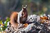 Hoernchen-2018-3888.jpg (Joachim Dobler) Tags: eichhörnchen eichhoernchen squirrel écureuil ardilla scoiattolo esquilo nature natur nagetier esquito wildlife animal cute naturephotography squirrellove wildlifephotography bestsquirrel nutsaboutsquirrels cuteanimals