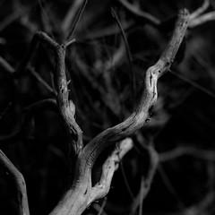 Thicket Details 060 (noahbw) Tags: california d5000 dof nikon torreypinesstatereserve abstract autumn blackwhite blackandwhite blur branches bw depthoffield desert monochrome natural noahbw square trees