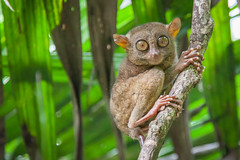 Visite du sanctuaire des tarsiers, emblème de l'île de Bohol (Voyages Lambert) Tags: rainforestboholphilippinetarsiertarsiertropicalclimatephi rainforest bohol philippinetarsier tarsier tropicalclimate philippines primate animal tropicalrainforest