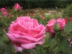 (Tölgyesi Kata) Tags: rózsa rose rosegarden nyíregyháza rosen rosa flower rosier blossom fleur virág tuzsonjánosbotanikuskert botanikuskert botanicalgarden withcanonpowershota620 summer nyár pinkflower