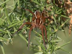 Raft spider (Dolomedes fimbriatus) (Anne Richardson) Tags: raftspider dolomedesfimbriatus spider arne dorset wildlife nature macro macrophotography arachnid