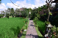 A path through paddy fields to another of Bliss's facilities (shankar s.) Tags: seasia indonesia java bali islandparadise baliisland touristdestination hotel lodgings accomodation resort entrance blissubudspaandbungalow ubudbali reception garland statue idol hindufaith hindureligion hinduism prayer shrine garden landscaping paddyfield ricepaddies ricefield path trail