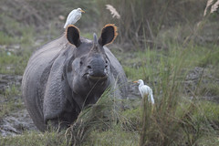 Greater One-horned Rhinoceros - Rhinoceros unicornis (Jono Dashper Wildlife) Tags: greater onehorned rhinoceros unicornis indian rhino chitwan national park nepal vulnerable wild mammal wildlife native natural rare endemic endangered grass river mud canon 500mm 1dx 2018 jonodashper jonathondashper rhinocerosunicornis indianrhinoceros greateronehornedrhinoceros