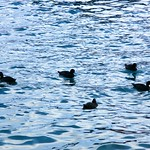 Ducks in the Water thumbnail
