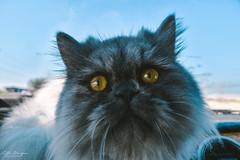 Chelsea on the Car Dashboard (Zelle Manzano) Tags: cat pet animal persiancat kitty catmoments animalphotography petportrait catportrait adorable closeup yelloweyes seriouslook chelsea thailand souththailand dslr nikon nikond5600 nikoncamera nikondaily