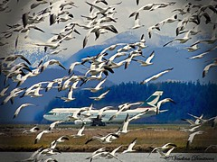 Wings. Vancouver international airport. (Veselina Dimitrova) Tags: sony photooftheday greatphotographers clickthecamera clickcamera wings canada vancouver airport birds airplane