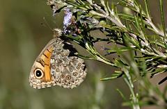 Le ultime farfalle - The last butterflies (Jambo Jambo) Tags: farfalla butterfly macro sonydscrx10m4 jambojambo fiori flowers rosmarino rosemary