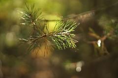 Needles (Schagie) Tags: bos forrest tree trees boom den dennen licht light bokeh naalden natuur nature herfst fall autumn zon sun beauty