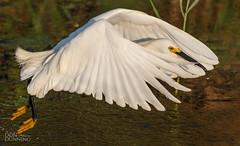 Snowy Egret (Egretta thula) (Don Dunning) Tags: anahuacnwr animals birds canon7dmarkii canonef100400mmf4556lisiiusm chambers egret egrettathula flight nationalwildliferefuge snowyegret texas unitedstates anahuac