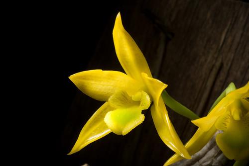 [Thailand] Dendrobium trigonopus Rchb.f., Gard. Chron., ser. 3, 2: 682 (1887)