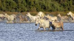 Laisse les courir, nous on fait une pause! (Xtian du Gard) Tags: xtiandugard camargue provence france nature animaux chevaux jument poulain cavalcade eau lac etang