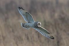 short eared owl (2) (colin 1957) Tags: seo shortearedowl birdsofprey owl