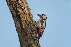 Great spotted woodpecker (JS_71) Tags: nature wildlife nikon photography outdoor 500mm bird new autumn see natur pose moment outside animal flickr colour poland sunshine beak feather