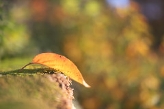 Catch a Falling Leaf... (KissThePixel) Tags: leaf leaves fallingleaves fall autumn autumncolours autumnlight autumnleaves woodland garden beautiful beauty bokehlicious beautifulday bokeh bokehwednesday light sunlight wall focus nikon nikond750 50mm f14 14 dreams dreamy