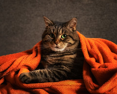 It's getting cold (FocusPocus Photography) Tags: cleo katze tabby cat chat gato decke blanket tier haustier animal pet