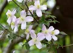 Clematis Montana (Seventh Heaven Photography **) Tags: garden flowers flora blooms pink clematis montana nikon d3200
