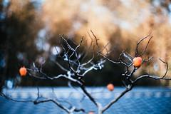 kaki (N.sino) Tags: m9 summilux50mm kaki roof tileroof persimmon bonsai 柿 盆栽 屋根 瓦屋根 枝 昭和記念公園