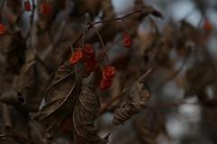 Colorful End (Binacat) Tags: canon eos 750d berlin tiergarten outside nature leaves tree berries orange dried color blätter herbst autmn brown braun getrocknet natur baum beeren dawn dämmerung