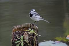 DSCF6259 (jojotaikoyaro) Tags: bird animal nature wildlife suginami tokyo japan fujifilm xh1 xf100400mm